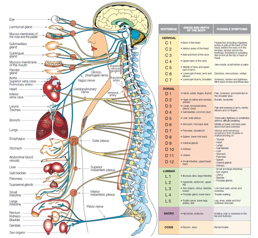 what-is-chiropractic-spine-nerve-relation